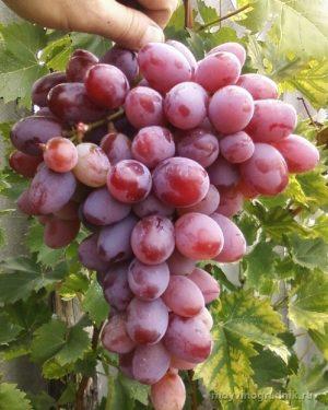 приемущества и достоинства винограда атаман