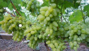 уход за виноградом бажена