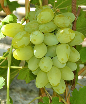 достоинства винограда бажена