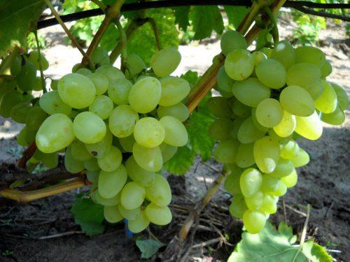 характеристика винограда бажена