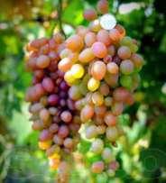 агротехника винограда денал