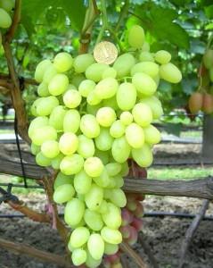болезни винограда долгожданный