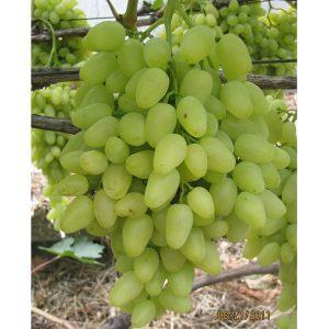 уход за виноградом долгожданный