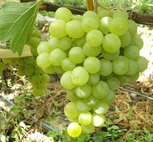 посадка и уход винограда дружба