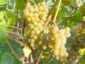 характеристика сорта винограда дружба
