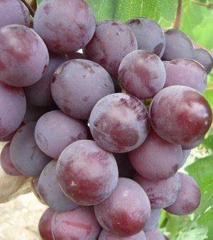 характеристика винограда дунав