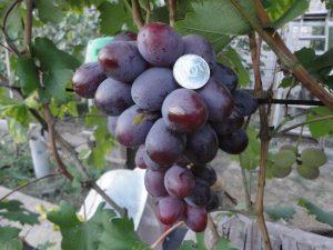 характеристика сорта винограда фавор