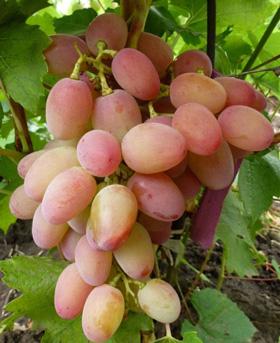 достоинства винограда гелиос
