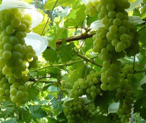 виноград галбен ноу