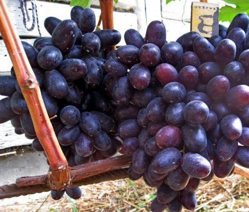 виноград хаджи мурат