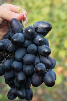 особенности сорта винограда Хаджи Мурат