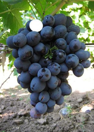 посадка и уход за виноградом хаджи мурат