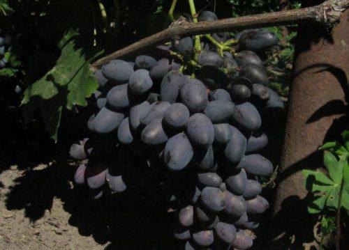 виноград кармен , описание сорта