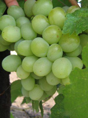 достоинства винограда кеша
