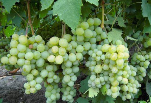 характеристика винограда кеша