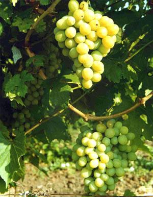 болезни винограда гелиос