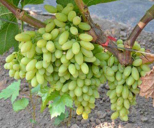 Характеристика винограда Кишмиш Столетие