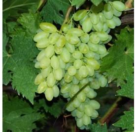 описание сорта виноград кишмиш столетие
