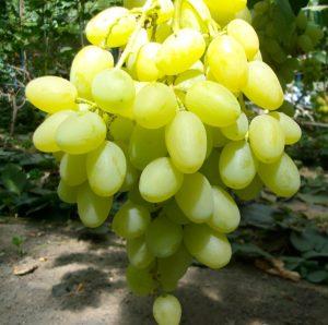 особенности ухода за виноградом ландыш