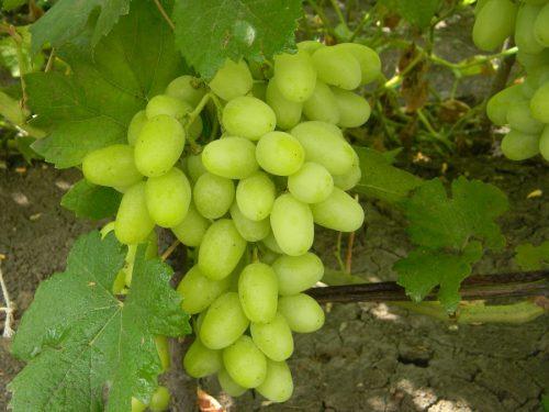 характеристика винограда ландыш