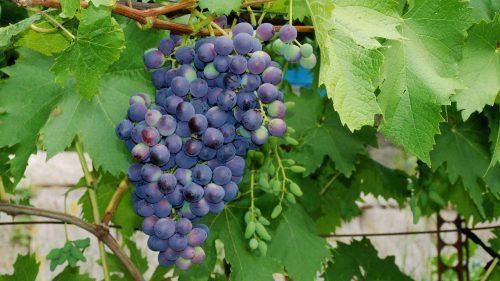 Описание сорта виноград муромец