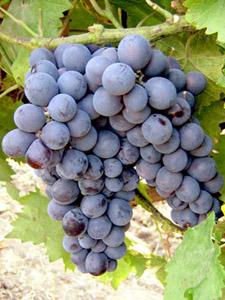 особенности винограда муромец