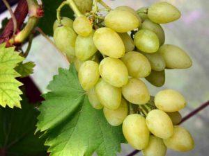 особенности сорта виноград мускат летний