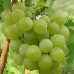 особенности агротехники винограда мускат летний