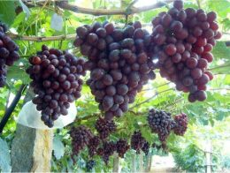 уход за виноградом низина