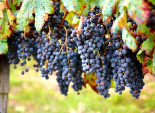 Описание сорта виноград Одесский