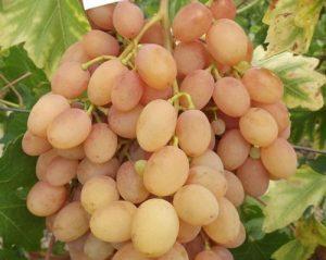 особенности сорта винограда Памяти Хирурга