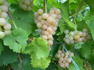 особенности винограда платовский