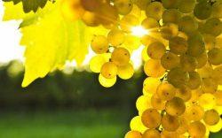 особенности агротехники винограда платовский