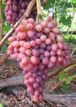 уход за виноградом рубиновый