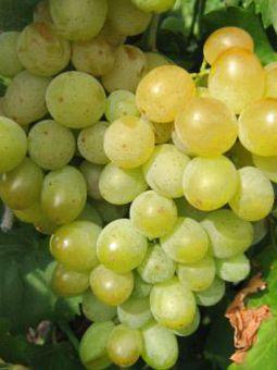 описание винограда русбол