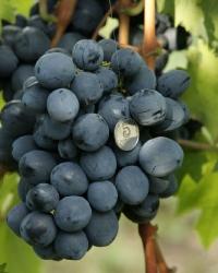 болезни винограда руслан