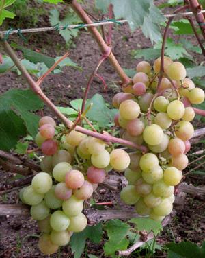 особенности ухода за виноградом русвен