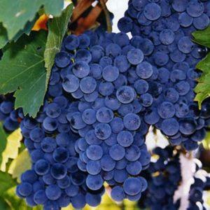 размер и характеристика винограда саперави