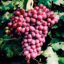 особенности сорта виноград шоколадный