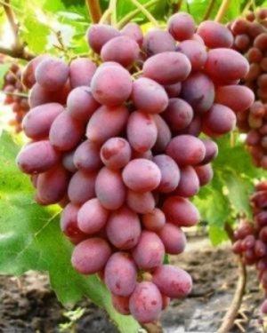 достоинства и недостатки винограда тайфи