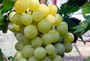 выращивание винограда тукай