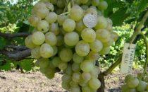 достоинства винограда тукай
