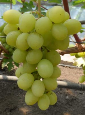 уход за виноградом валек
