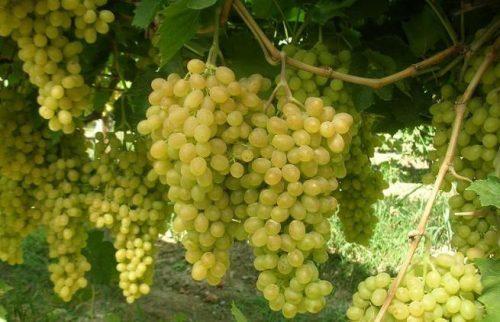 описание сорта винограда валек