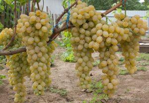 достоинства винограда валентина