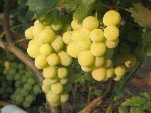 особенности ухода за виноградом валентина