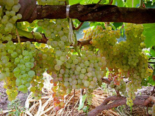 характеристика винограда валентна