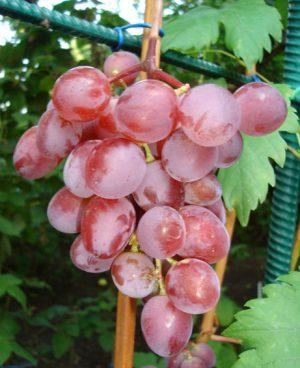 особенности посадки винограда виктория