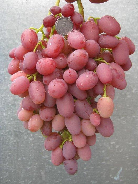 виноград водограй описание сорта