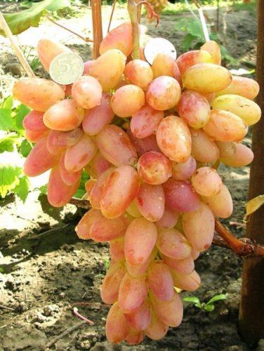 сорт винограда юбилей новочеркасска